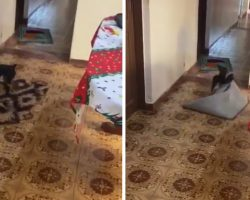 Little Dog Moves Rugs So Grandma Can Get Through In Her Wheelchair