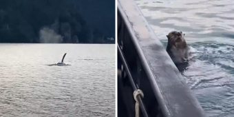 Boater Sees An Otter Swimming Toward His Boat In An Attempt To Escape An Orca