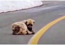 Hollow Dog Lying In Road Longed For Warmth & A Better Life But His Heart Was Wild