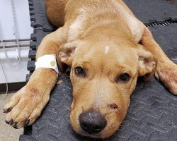 Ruthless Man Shot Puppy In Snout & Left Him Yelping In Pain In Porta-Potty