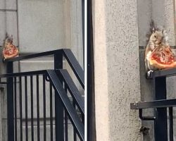 Chubby Squirrel Seen Eating A Big Slice Of Pizza In NYC