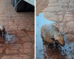 Man Driving A Water Truck Spots A Thirsty Armadillo On A Dry And Dusty Road