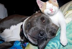Abused Pit Bulls Find New Purpose In Life When They Get To Foster Blind Kittens