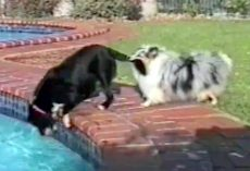 His Friend Was About To Fall Into The Pool, So He Grabs His Tail With His Mouth