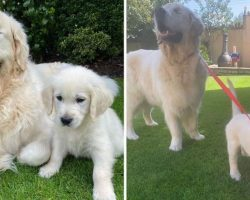 Blind Golden Retriever Gets A Seeing-Eye Guide Puppy To Help Him Navigate The World