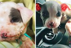 Pit Bull Puppy Found At A Construction Site Would Blossom Into A Social Butterfly