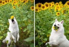 Dog Photoshoot With Sunflowers Goes Hilariously Wrong When The Dogs Realize How Tasty Flowers Are