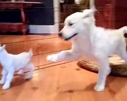 """Golden Retriever Puppy Meets Baby Goat For First Time, And He """"Loses His Mind"""""""