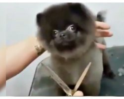 Little Dog Danced While She Got A Haircut From Her Chuckling Groomer