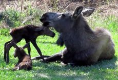 Moose Lied Down In Their Yard, So They Grabbed Their Camera And Began Recording