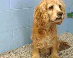 Senior Dog Watches As Her Family Dumps Her In Shelter In Exchange For A New Pup