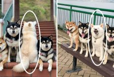 Silly Shiba Inu Constantly Ruins Group Photos And Hilariously Goes Viral