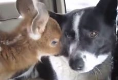 Dog Trained To Be Mean And Tough Ends Up Having A Soft Spot For A Fawn