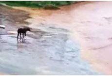 Disoriented Blind Dog Beat In The Head Was Tossed Out In Midst Of A Flash Flood