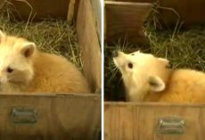"Shelter Takes In Pup Thinking It's A Baby Fox, But Find It's ""Not A Fox At All"""