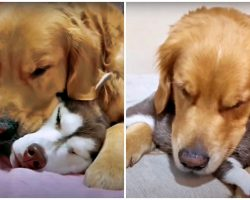 Golden Meets His Husky Best Friend's New Puppies And Steps In As Their Dad