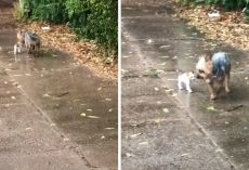 Friendly Dog Feels It's Her Duty To Get Stranded Kitten Out Of The Rain