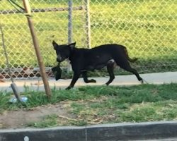 Homeless Mama Dog Seen Walking Around With Her Lifeless Pup In Search Of Help