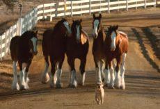 The Budweiser Clydesdales And Puppy Friend Are Back Together In New Commercial