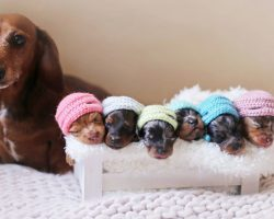Dachshund Mama Poses With Her Little Sausages In Dog Maternity Photoshoot