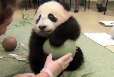 Baby Panda Thinks The Caretaker Has Come To Steal His Ball And Gets Paranoid