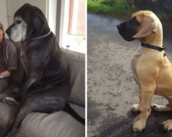 26 Humongous Great Danes Who Have No Idea How Big They Are