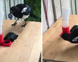 Man Teaches Magpies To Trade Bottle Caps For Food With Homemade Bird Feeder