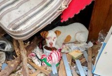 Pit Bull Puppy Used As A Bait Dog Hides Under A Mattress Amidst Junk And Debris