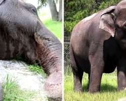 Elephants Yearn For Their Freedom After Serving In The Circus All Their Lives