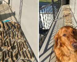Golden Retriever Proudly Shows His Dad His Stick Collection