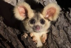 Two New Adorable Mammals Discovered In Australia