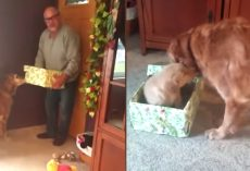 Gift Helps Fill The Recent Void Left In Grieving Golden Retriever's Life