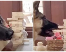 German Shepherd Challenges Her Mom To A Game Of Jenga & Goes For The Win