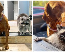 Abandoned Baby Raccoon Wrestles, Snuggles, & Plays With Couple's Big Dog