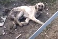Old Dog Involved In Hit And Run Left In A Cold And Dirty Puddle