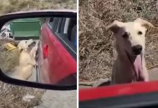 Stray Dog Approaches Stranger's Vehicle Hoping To Be Rescued