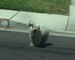 Small Dog Runs Away From Home And Gets Lost While Looking For His Girlfriend
