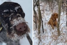 Dog Catches A Scent And Follows His Nose Into The Snowy Woods To A Lost Pup