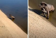 Owner Dumps Pit Bull In A Filthy Canal, Dog Sits In The Same Spot For Days