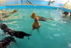 """Socially Awkward"" Dog Stands Still In The Pool While Other Dogs Swim And Play"