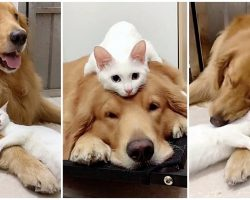 Golden Retriever & Cat Grow Up Together, Cuddle Every Chance They Get