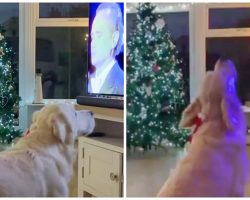 Golden Retriever Belts Out A Christmas Tune Every Time Classic Song Is Played
