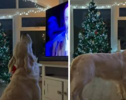 Jolly Golden Retriever Plops In Front Of The TV & Sings Along To White Christmas