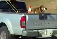 Dog Seen Tied Up In Truck Bed With Mouth Taped Shut As Owner Sped On Freeway