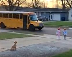 Golden Retriever Pup Sees That His Siblings Make It Onto The Bus Every Morning