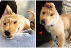 Golden 'Unicorn' Puppy Has One Ear At The Top Of Her Head