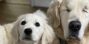 Blind Dog Gets His Own Guide Dog! Puppy Helps Ailing Golden Retriever Find His Way On Walks