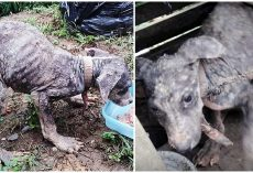 Used As A Guard Dog, He Was Chained Up For 6 Months As His Infection Worsened