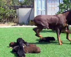 Dog Gets A Little Too Close To The New Litter, So Mama Dog Lunges Right At Him