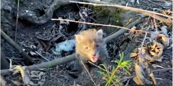 Fox Pup Shrieked For Help, They Assume Mom's Coming Back But They're Wrong